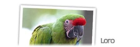 loro parrot